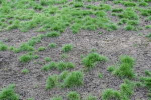 getting rid of lawn fungus tips