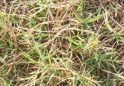 Grass With Red Tips