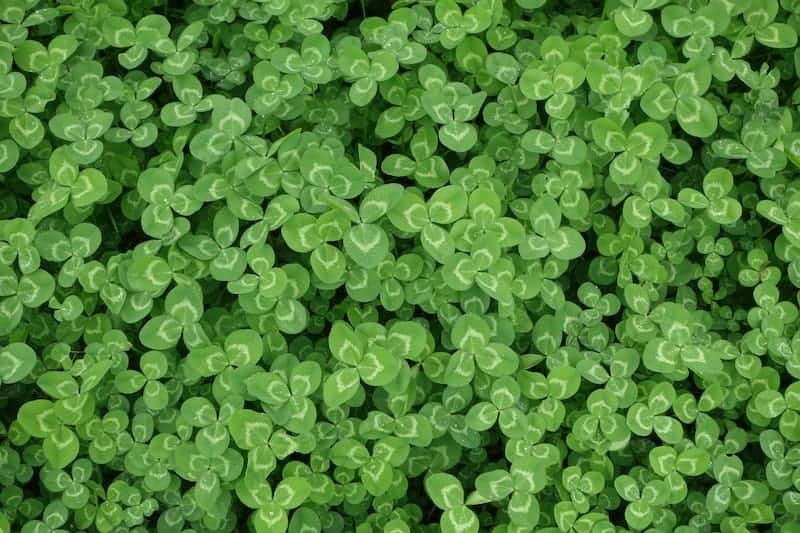 Get Rid of Clover in Lawn