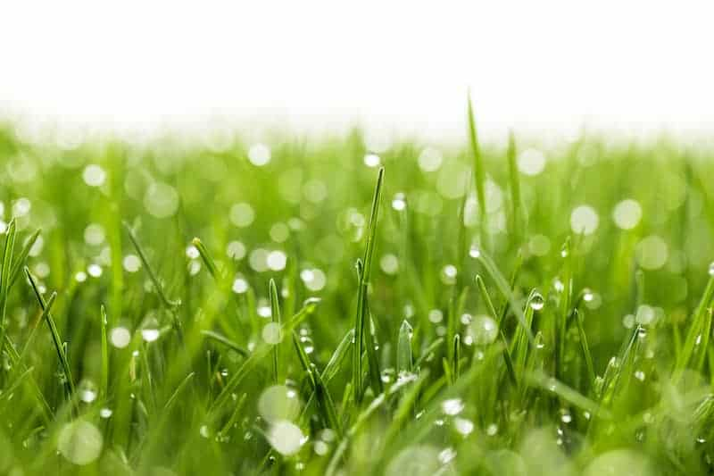 fescue grass seed for lawn